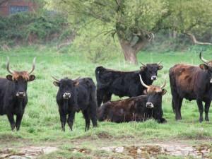 Auerochsenherde auf den Ruhrtal-Weiden